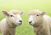 芝生にいる子羊