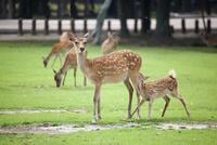 奈良公園草原で母親のミルクを飲んでいるバンビ