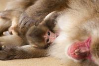 ミルクを飲む日本猿の赤ちゃん猿 02433008808| 写真素材・ストックフォト・画像・イラスト素材|アマナイメージズ