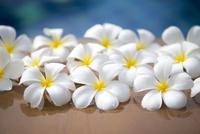 プールサイドのプルメリアの花