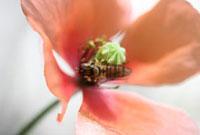 ホソヒラタアブ 02451000015| 写真素材・ストックフォト・画像・イラスト素材|アマナイメージズ