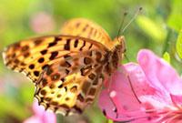 ツマグロヒョウモン 02451000043| 写真素材・ストックフォト・画像・イラスト素材|アマナイメージズ