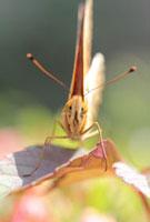 ツマグロヒョウモン 02451000044| 写真素材・ストックフォト・画像・イラスト素材|アマナイメージズ