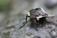 アカスジキンカメムシ(幼虫) 02451000047| 写真素材・ストックフォト・画像・イラスト素材|アマナイメージズ