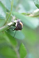 アカスジキンカメムシ(幼虫) 02451000048| 写真素材・ストックフォト・画像・イラスト素材|アマナイメージズ