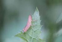 バッタ(幼虫) 02451000089| 写真素材・ストックフォト・画像・イラスト素材|アマナイメージズ