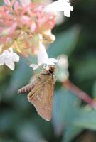イチモンジセセリ 02451000092| 写真素材・ストックフォト・画像・イラスト素材|アマナイメージズ