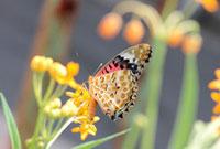 ツマグロヒョウモン 02451000106| 写真素材・ストックフォト・画像・イラスト素材|アマナイメージズ