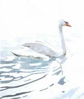 水辺にいる白鳥