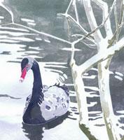 水辺にいる黒鳥