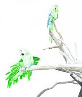 枯木にとまるインコ2羽