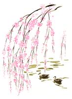 しだれ桜の枝と水に泳いでいる2羽のカモ