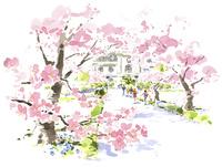 登校する小学生と桜 02463001336| 写真素材・ストックフォト・画像・イラスト素材|アマナイメージズ