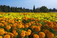 くじゅう花公園 02478000402| 写真素材・ストックフォト・画像・イラスト素材|アマナイメージズ