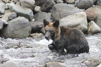 川で魚を狙うヒグマ