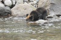 川で魚を探すヒグマ