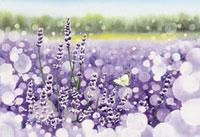 水彩画 香りの女王ラベンダー 02488000017| 写真素材・ストックフォト・画像・イラスト素材|アマナイメージズ