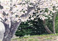 公園の桜 02488000061| 写真素材・ストックフォト・画像・イラスト素材|アマナイメージズ