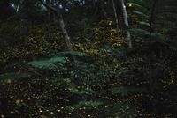 亜熱帯の森を飛ぶヤエヤマボタル