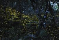 森を乱舞するヤエヤマボタル