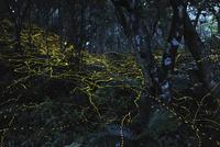 石垣島のヤエヤマボタル