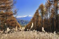 八ヶ岳山麓から望むカラマツ黄葉と富士山