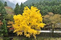 御岳渓谷のイチョウ黄葉