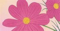秋桜 02518000034| 写真素材・ストックフォト・画像・イラスト素材|アマナイメージズ