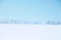 白樺の林と雪原