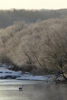川の中で餌を探すタンチョウ