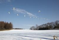 タンチョウの飛翔