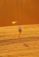 朝日の色に染まるタンチョウの吐息 02527000564| 写真素材・ストックフォト・画像・イラスト素材|アマナイメージズ