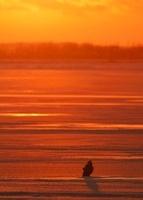 結氷した湖面のオジロワシ