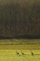 浅い秋の牧草地のタンチョウ一家 02527000748| 写真素材・ストックフォト・画像・イラスト素材|アマナイメージズ
