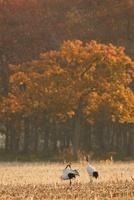収穫後のデントコーン畑につがいのタンチョウ 02527000765| 写真素材・ストックフォト・画像・イラスト素材|アマナイメージズ