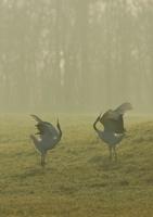 晩秋の薄霧の中のタンチョウつがい 02527000786| 写真素材・ストックフォト・画像・イラスト素材|アマナイメージズ