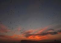 朝焼けの空に塒立ちのマガン 02527000792| 写真素材・ストックフォト・画像・イラスト素材|アマナイメージズ