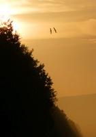 朝陽の防風林とマガン二羽 02527000796| 写真素材・ストックフォト・画像・イラスト素材|アマナイメージズ