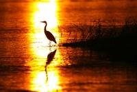 朝日のきらめく湖面とアオサギ