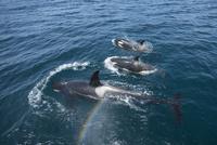 シャチの小群とブロウ(噴気)にかかる虹