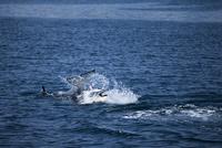 シャチの交尾行動