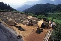 碁石茶作り 天日干し作業