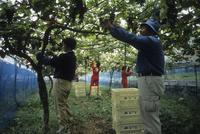 有機栽培の山葡萄の収穫