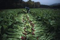 有機栽培の飛騨赤かぶの収穫