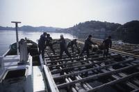 牡蠣の収穫