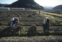 黒豆の収穫