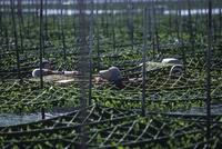 青のりの収穫作業