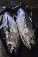 塩釜港魚市場に並ぶメバチマグロ