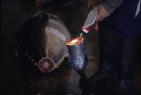 懐中電灯で照らして、尾の切り口を見る仲買人 02547002549| 写真素材・ストックフォト・画像・イラスト素材|アマナイメージズ