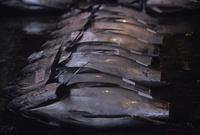 塩釜港魚市場に並ぶ尾が切り離されたメバチマグロ